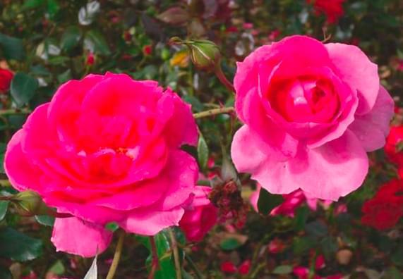Porady na temat róż