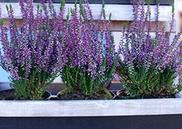 Rośliny balkonowe i ogrodowe