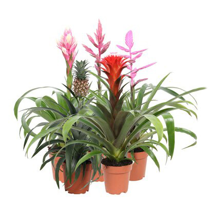 Bromelia Royal Green wys. 43-50cm don. 12cm